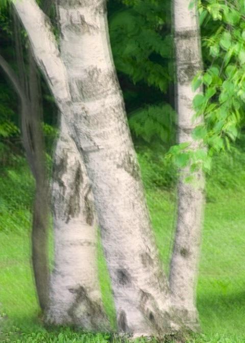 White Birch - ID: 4125012 © Sandra Hardt