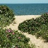 © Beth E. Higgins PhotoID# 4127192: Beach Roses  MP 229