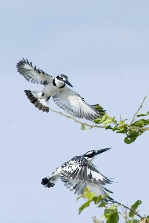 Pied Kingfishers - ID: 4138443 © Ann E. Swinford