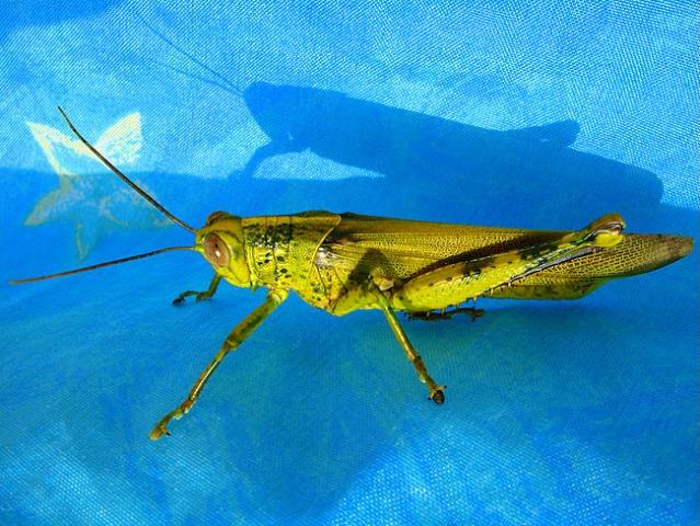 Grasshopper on Blue