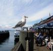 Seattle Gull