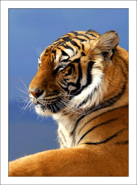 Day Dreaming Tiger...
