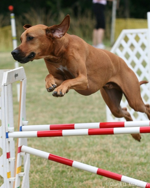 Flying Rhodesian Ridgeback