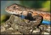 Blue belly Lizard