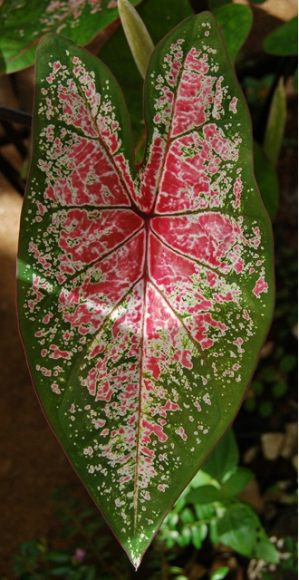 Another Spotted Leaf