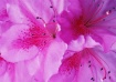 Exploding Pink
