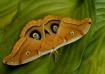 Moth (Antheraea p...