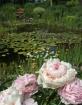 Monet's Peoni...