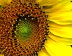 Sunflower - The S...