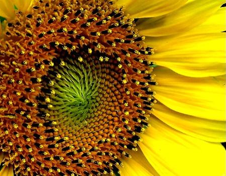 Sunflower - The Seeds