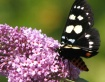 Butterfly on Purp...