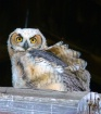 Great Horned Chic...