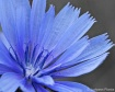 Cornflower Blue(f...