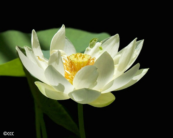 Goblet Waterlily - ID: 4225321 © Candice C. Calhoun