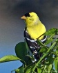 Goldfinch, 3rd pl...