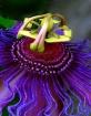 """""""Purple Passi..."""