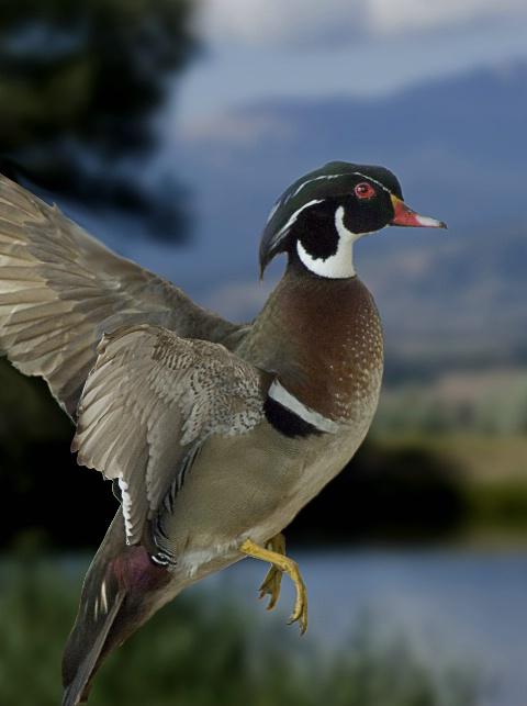 Wood duck in flight.