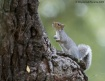 Eastern Gray Squi...