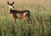 Deer in Colorado