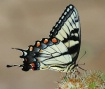 Swallowtail on Bu...