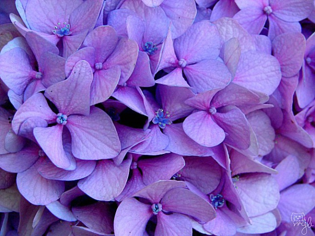 passionate perwinkle hydrangea
