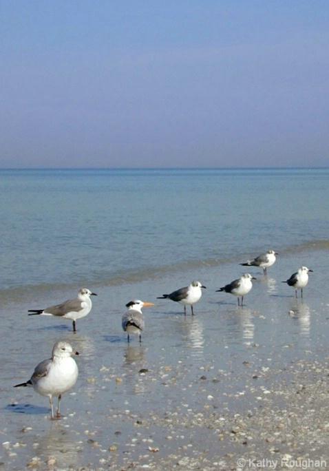 Florida Seagulls - ID: 4284367 © Kathleen Roughan