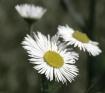 Weed or Flower???