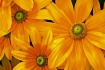 Green-eyed Susans