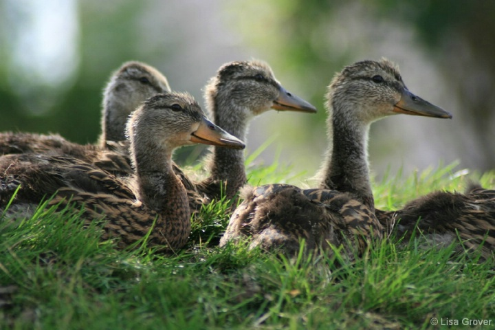 Girl Ducks