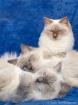 Three ragdoll cat...