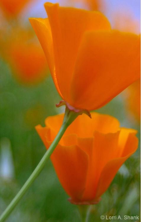 California Poppy #4