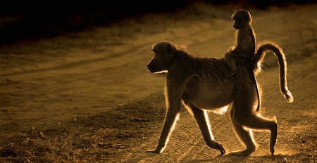 Baboon & Young, Sunset Botswana