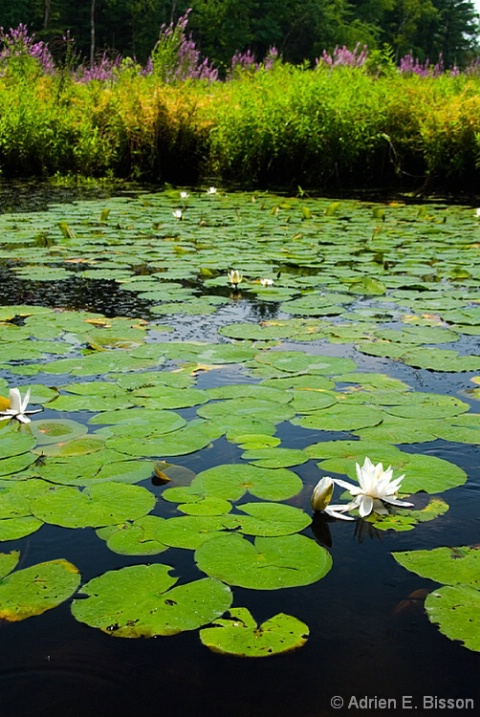 Lilly Pads 1