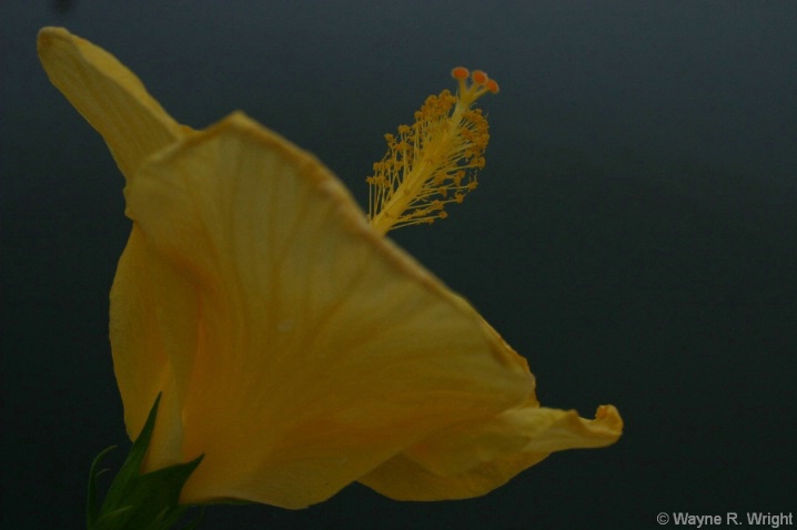Hibiscus on the Water - ID: 4306084 © Wayne R. Wright