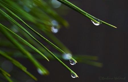 Rain on pine needles