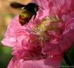 Honeybee Landing....