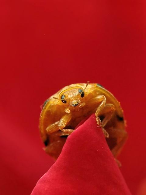 Romantic Bug