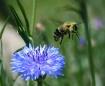 Bee Leaving Flowe...
