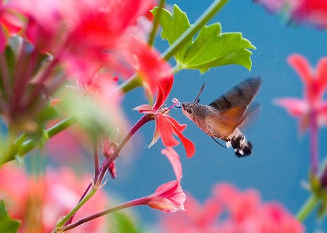 Hummingbird pretender in the garden of Eden