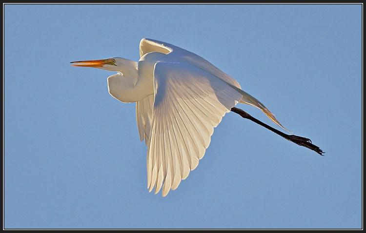 Backlit Great Egret in Flight