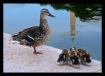 Ducks at the Monu...