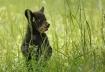 Bear cub in Sprin...