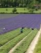 Lavender Harvesti...