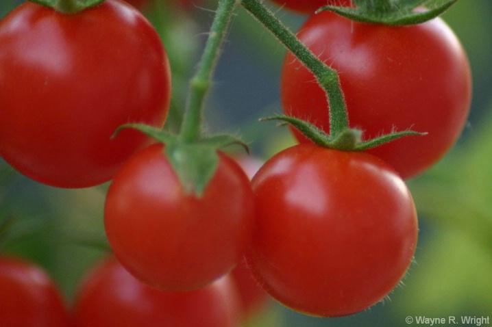 Cherry Tomatoes - ID: 4356879 © Wayne R. Wright