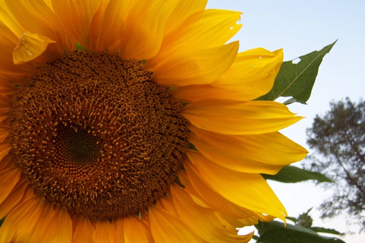 Ohio summer sunflower