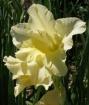 Yellow Gladioluse...