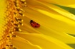 Sunflower home