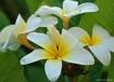 Plumeria in Kauai