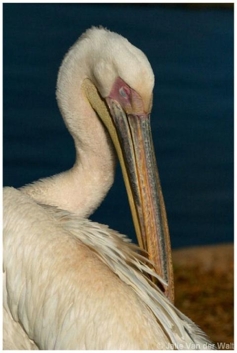 Grooming Pelican