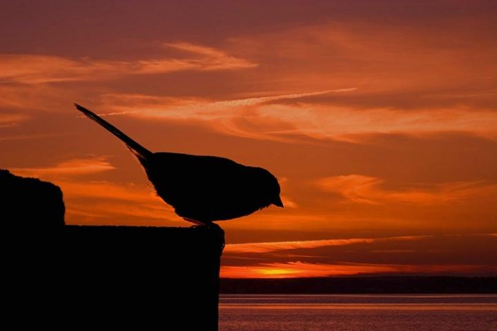 Sunset Chickadee